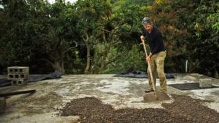 कॉफी की खेती