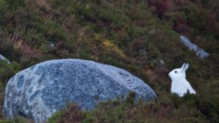 Mountain hare in Southern Cairngorms