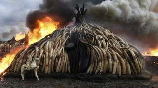 Ivory is burned in Kenya