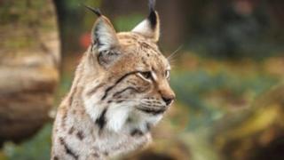 cath lynx