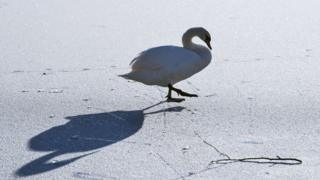 Лебедь на льду