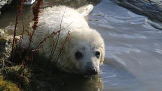Seal pup at the Calf of Man
