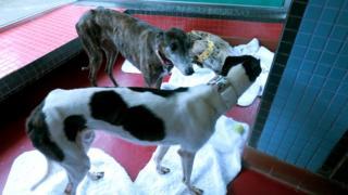 寄居澳門保護動物協會路環收容所的逸園格力犬(BBC中文圖片22/6/2018)