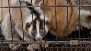 A slow loris stares out of a cage in West Java