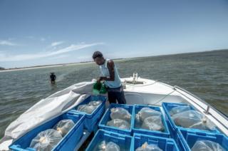 海参幼体先适应阿萨辛湾的水温,然后再放入网箱中。历经九个月,它们将在成熟后被捕捞。