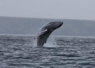 Humpback whale off Lewis
