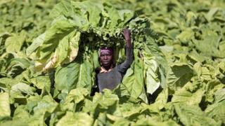 A farm work holding tobacco leaves aloft on Tilisa Farm in Bromley, Zimbabwe - Wednesday 29 January 2020