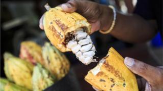 チョコレートの原料であるココア・パウダーやココア・バターは、カカオの種からできる