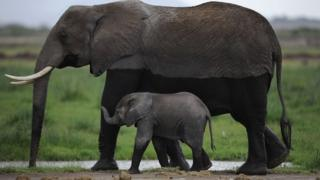 Elephant and calf in Kenya (file picture)