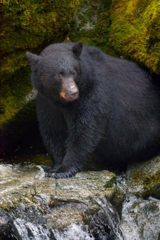 Black Bear fishing for Salmon, Tongass National Forest, Alaska. Black Bear