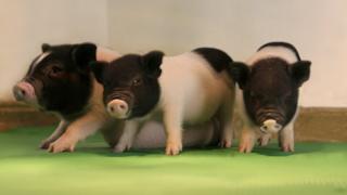 37 domuzun DNA'larının virüsten arındırıldı
