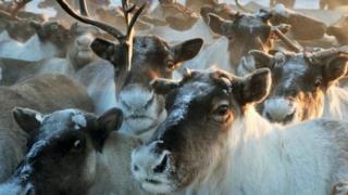 Taimyr herd