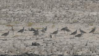 Eastern curlews searching for crabs in a drained rice paddy, North Korea