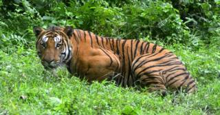 असम के जंगलों में एक बाघ