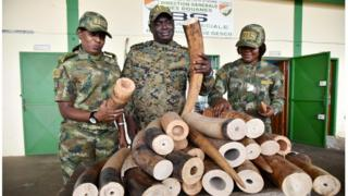 Seized elephant tusks