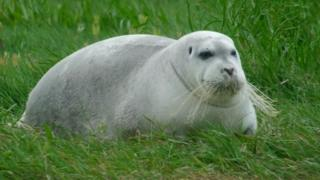 The bearded seal was photographed in west Cork