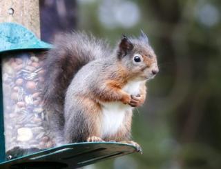 Squirrel in Tentsmuir forest