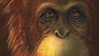Artist reconstruction of the ape