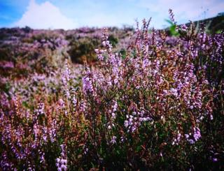 A field of heather