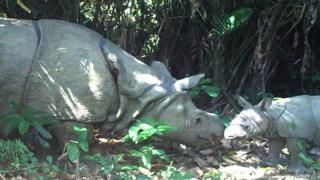 A handout photo released by Ujung Kulon National Park shows a female rhino and her calf