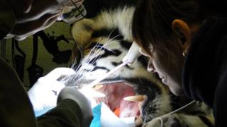 Dr Peter Kertesz and a colleague work on the teeth of sedated Budi