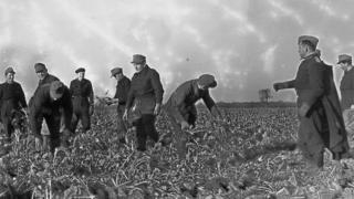 Picking sugar beet