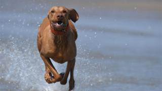 A dog runs through shallow water by the sea in Camber Sands, East Sussex