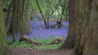 Bluebells at Cothill Woods
