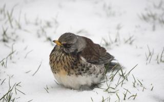 A fieldfare looking a bit grumpy in the snow