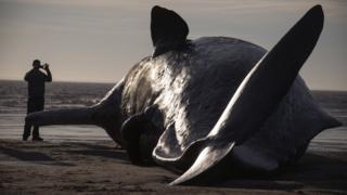 Sperm whale on beach near Skegness