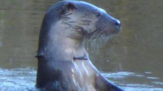 Otter with cable tie