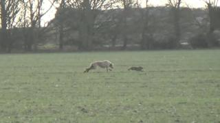 Dog chasing a hare in Lincolnshire
