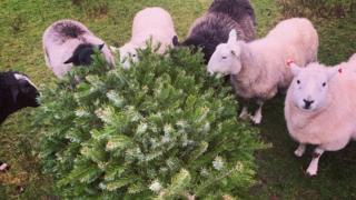 Sheep eating a Christmas tree