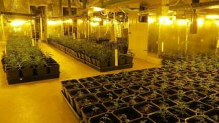 cannabis farm in the mill