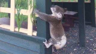 Queensland Koala Kurtarma fotoğrafı