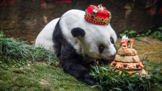 Basi sniffs a birthday cake prepared by her keepers at Fuzhou Panda World