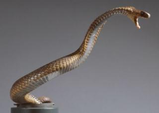 Le cobra égyptien se rencontre dans de nombreux pays africains.