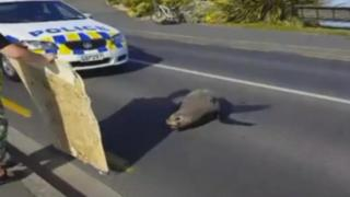 Sunbathing seal in the middle of the road in Dunedin