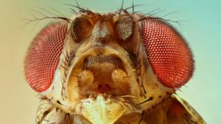 A fruit fly, magnified