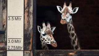 giraffe-chester-zoo.