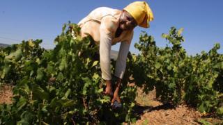 South African vineyard worker