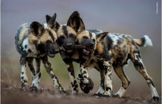 Строкаті вовки