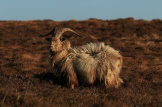 This feral goat blends in well with the heather on The Oa, Islay.