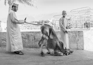 A cow crouching on the ground as two men look on
