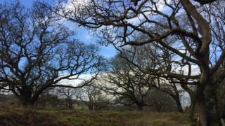 The oak trees are located at Glenarm Wood