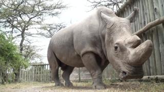 Sudán, el último rinoceronte blanco del norte