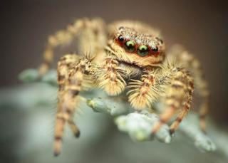 A hairy spider looking at the camera
