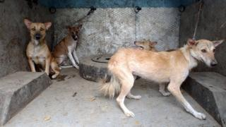 Stray dogs rounded up for sterilisation and anti-rabies vaccinations in Delhi