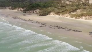 Более сотни дельфинов выбросились на берег в Новой Зеландии.
