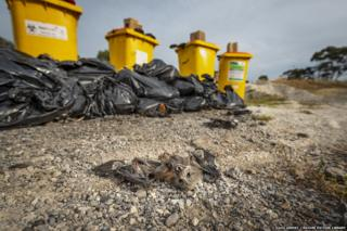Recovered Grey-headed flying fox carcases collected during the heat-stress at event.